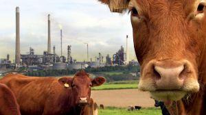 A Farm for the Future_cows